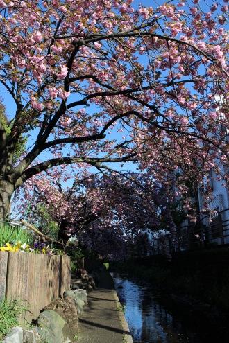 二ヶ領用水の八重桜(南武沿線道路北側の遊歩道にて)