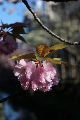 ピンクの八重桜