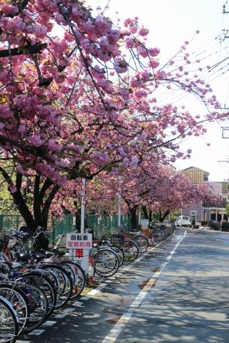 二ヶ領用水の八重桜(南武沿線道路南側の駐輪場にて)