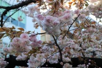 ホワイトの八重桜