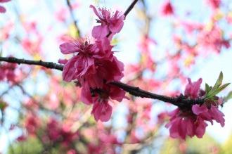 宮内付近の桃の木