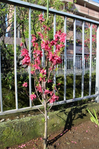 植樹された桃の若木