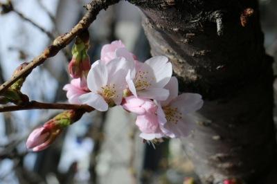 ソメイヨシノの開花