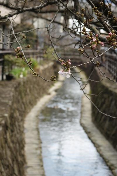 二ヶ領用水とソメイヨシノ