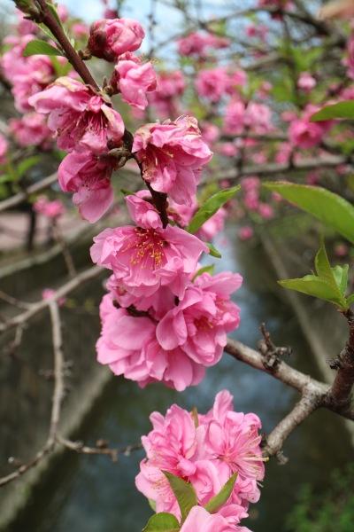 二ヶ領用水の花桃