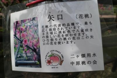 花桃の一種「矢口」