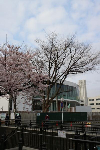 法政大学第二中学校・高等学校と渋川のソメイヨシノ