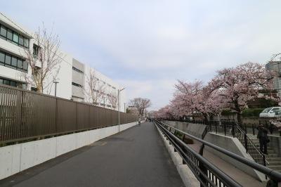 法政二中・高の道路沿いに植えられたソメイヨシノ