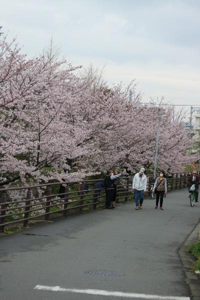 東住吉小学校前のソメイヨシノ