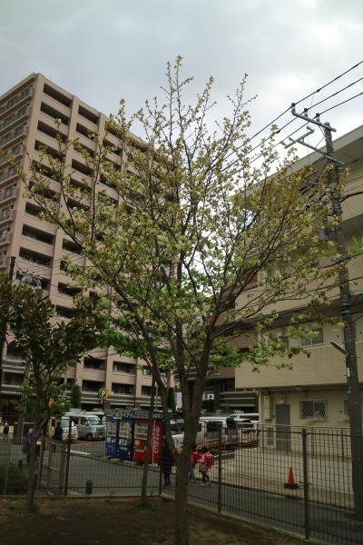 中丸子まるっこ公園の「御衣黄桜」