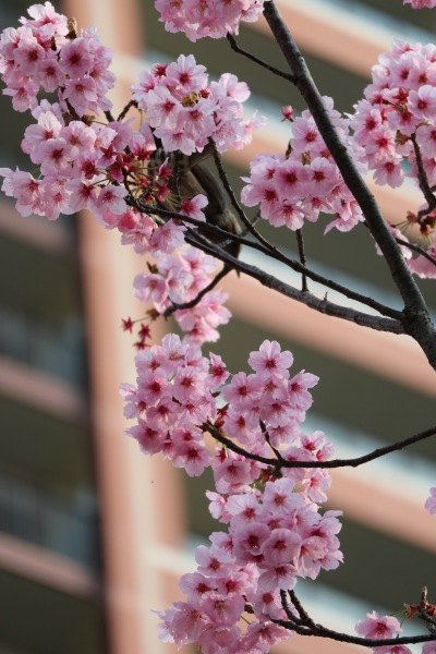 「THE KOSUGI TOWER」の「陽光桜」