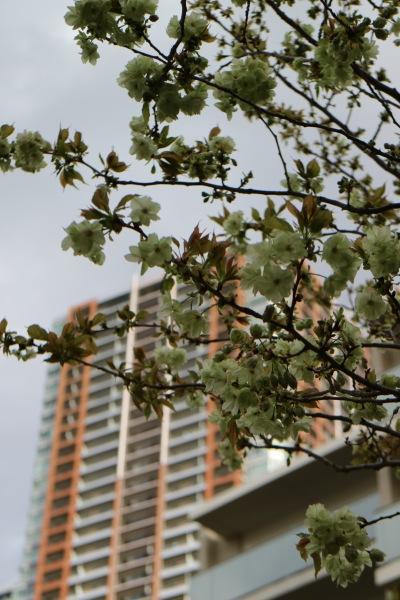 開花初期の「御衣黄桜の花弁」