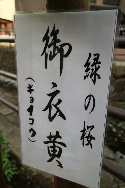 「緑の桜 御衣黄」