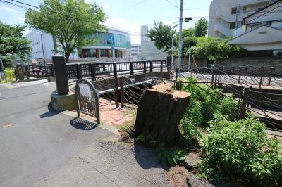渋川「巽橋」付近のソメイヨシノ伐採