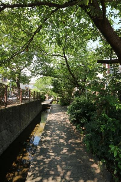ソメイヨシノと遊歩道