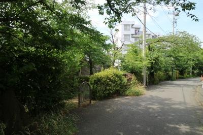 渋川で過去に伐採されたソメイヨシノ