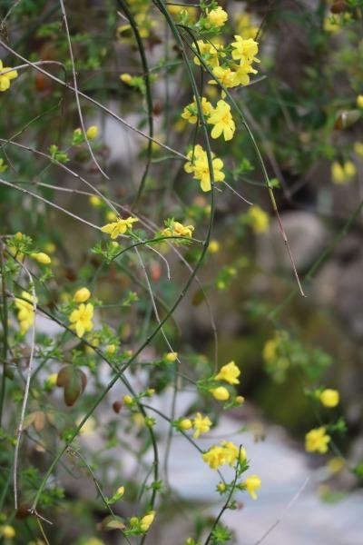黄色い花を咲かせたつるそけい