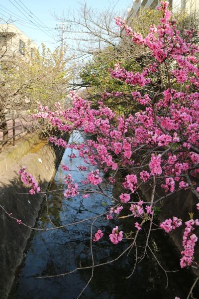 小杉十字路付近の花桃「矢口」