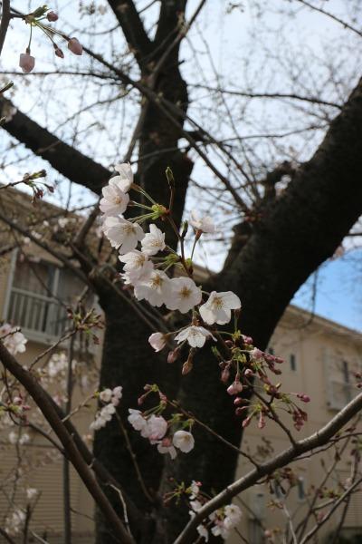 2~3分咲きのソメイヨシノ