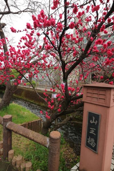 二ヶ領用水・山王橋の花桃