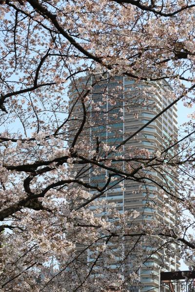 ソメイヨシノの向こうに見えるプラウドタワー武蔵小杉