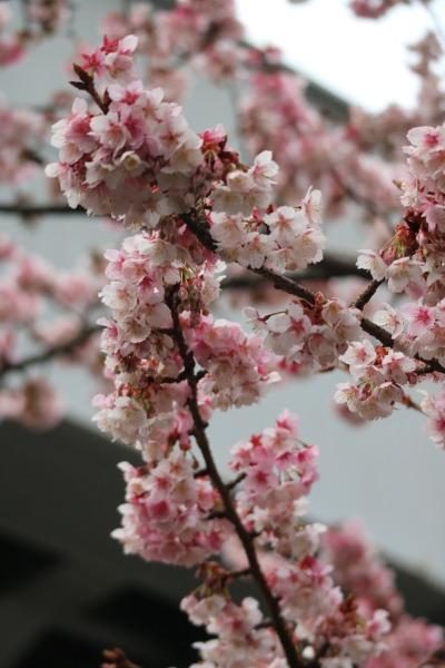 日中の河津桜