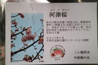 河津桜の札