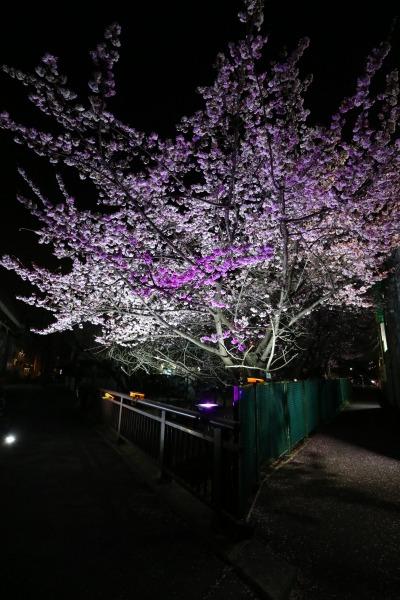 二ヶ領用水の河津桜のライトアップ