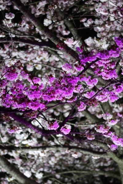 照明で色分けされた河津桜