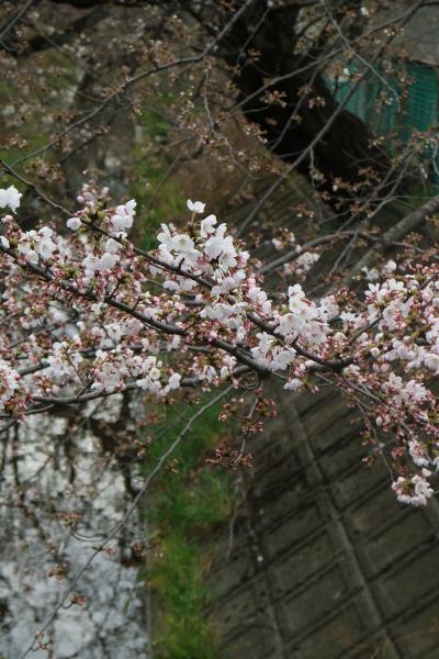 開花が進んだ枝