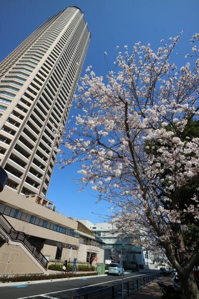 武蔵小杉タワープレイスの桜