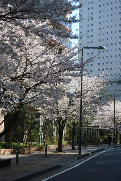 パークシティ武蔵小杉ミッドスカイタワーのソメイヨシノ