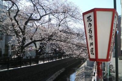 渋川・櫓橋近くの「住吉ざくら」