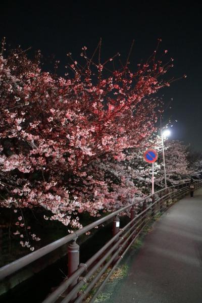 ソメイヨシノのライトアップ「赤」