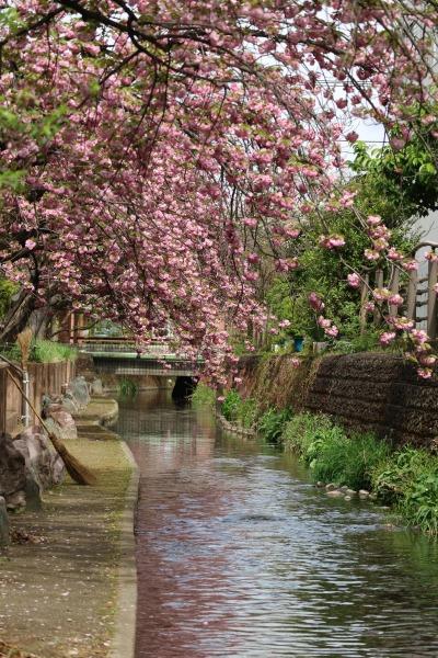今井神社付近の二ヶ領用水沿い