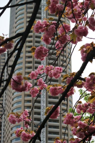 八重桜とパークシティ武蔵小杉 ザ ガーデン