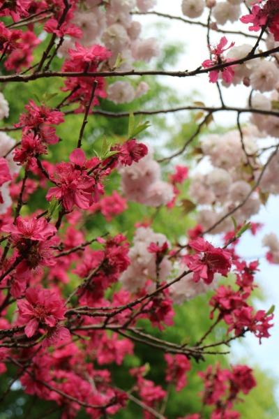 花桃と八重桜