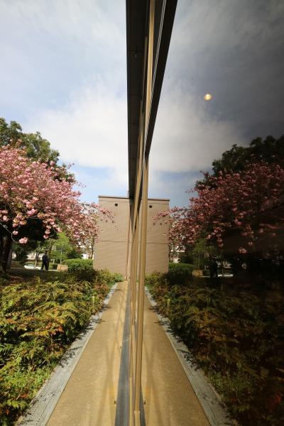彫刻の広場の八重桜