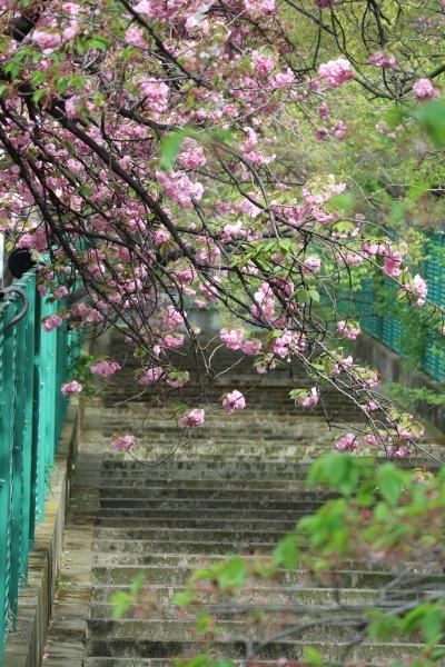 川崎市医師会館近く、二ヶ領用水沿いの八重桜