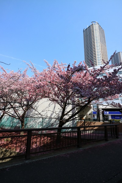 二ヶ領用水の河津桜
