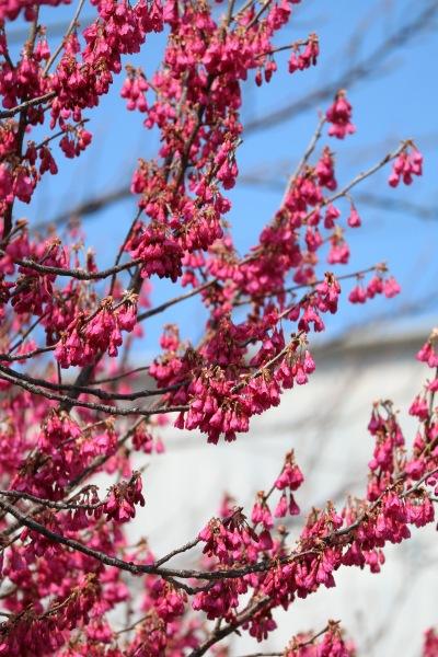 二ヶ領用水の寒緋桜