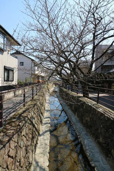 二ヶ領用水のソメイヨシノ並木