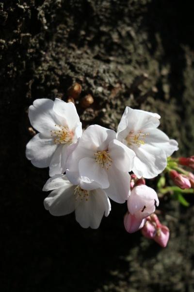幹に近いところでの開花