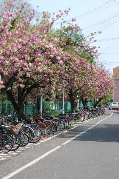 二ヶ領用水沿いの八重桜(川崎市医師会館裏手)