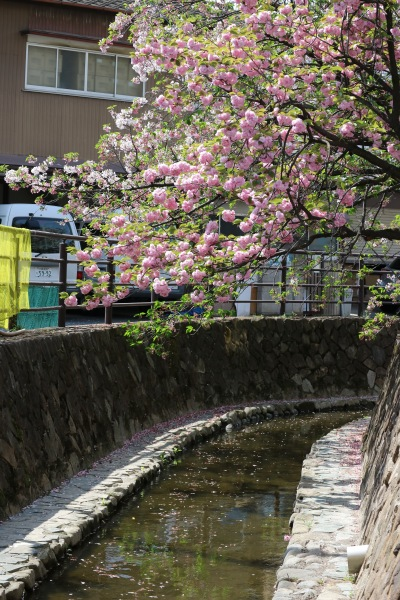 二ヶ領用水沿いの八重桜(東急線高架付近)