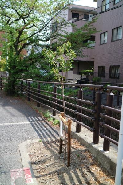 グランツリー武蔵小杉の寄贈による「御衣黄桜」
