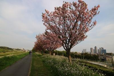 多摩川の八重桜