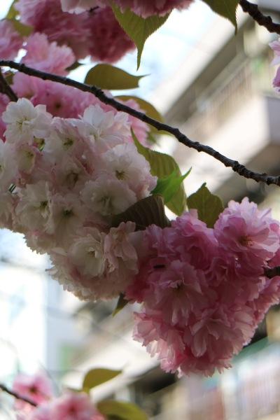 紅白の八重桜