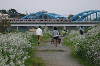 多摩川河川敷のハマダイコン