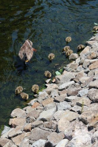 江川を泳ぐカルガモ親子たち